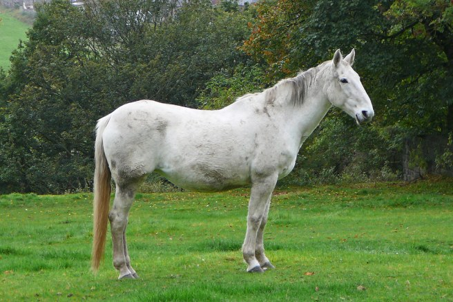 Old white horse